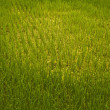 Rice field. — Stock Photo #8995550