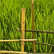 Rice field. — Stock Photo #8995656