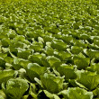 Royalty-Free Stock Photo: Field with cabbage.