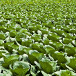 Field with cabbage. — Stock Photo #8995801