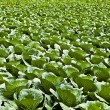 Field with cabbage. — Stock Photo