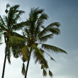 Acai palm against blue sky - Stock Photo