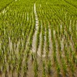 Rice field. — Stock Photo #8997228