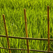 Rice field. — Stock Photo
