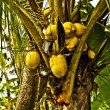 Close up on coconut tree with a bunch of yellow fruits hanging — Stock Photo