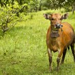 Cow resting on green grass — Stock Photo #9113565