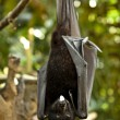 Black flying-fox (Pteropus alecto) — Stock Photo