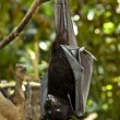 Black flying-fox (Pteropus alecto) - Stock Photo