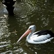 Stock Photo: Pelican.