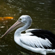 Pelican. — Stock Photo #9113938