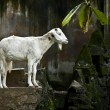 White hornless goats at the zoo — Stock Photo