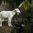 White hornless goats at the zoo - Stock Photo
