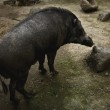 Wild boar — Stock Photo #9114311
