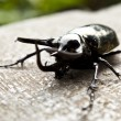 Big horned beetle — Stock Photo
