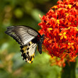 Butterfly feeding on spring flower. — Stock Photo