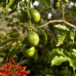 Tree with green fruits - Stock Photo