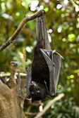 Black flying-fox (Pteropus alecto) — Stock fotografie