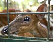 Young deer in bali a zoo. Bali. Indonesia — Stock Photo