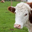 Cow at the farm — Stock Photo