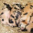 Baby pigs — Stock Photo #9980722