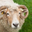 Sheep with horns — Stock Photo