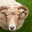 Sheep with horns — Stockfoto