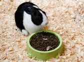 Holenderski królik — Zdjęcie stockowe