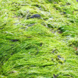 Stock Photo: Bright green seaweed
