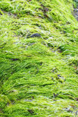 Bright green seaweed — Stock Photo