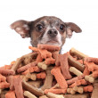 Chihuahua and dog biscuits — Stock Photo