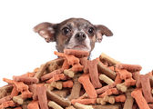 Chihuahua and dog biscuits — Foto Stock