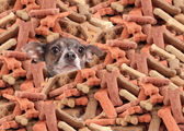 Chihuahua buried in dog bones — Stock Photo