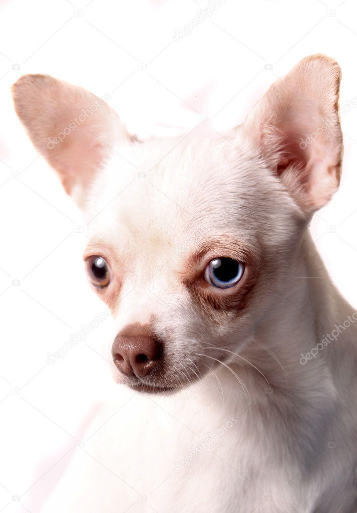 Chihuahua blue eye