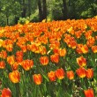 Stock Photo: Orange tulips