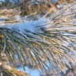 Twig of pine in frost — Stock Photo