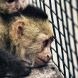 Monkeys in a Cage - Stock Photo