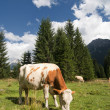 Grazing Animals on Dolomites Meadows, Italy — Стоковая фотография
