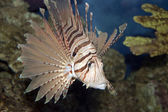 Lionfish in Coral — Stock Photo