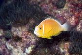 Yellow Fish — Foto de Stock