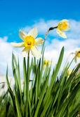 Narcissus lentebloemen op de hemelachtergrond — Stockfoto