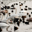 Ducks and swans on the winter lake - Stock Photo