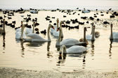 Ducks and swans on the winter lake — Foto Stock