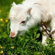 White little goat eating grass in bright simmer day — Stock Photo