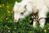 Weiße kleine ziege essen gras in hellen simmer-tag — Stockfoto