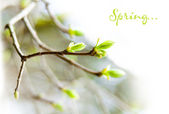 The first spring gentle leaves, buds and branches macro backgrou — Stock Photo