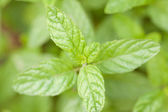 Fresh peppermint. — Stock Photo