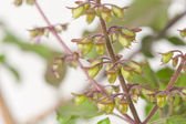 Macro shot of blooming Tulsi plant. — Foto de Stock