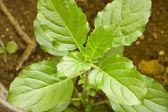 Tiro macro do tulsi planta, manjericão (ocimum tenuiflorum) — Foto Stock