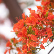 Le Flamboyant (The Royal Poinciana) - Stock Photo