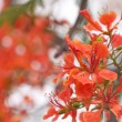Stock Photo: Le Flamboyant (Royal Poinciana)